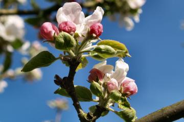 Kirsebærblomst Guldborgsund Frivilligcenter
